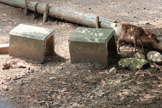 奈良公園 子鹿 赤ちゃん鹿
