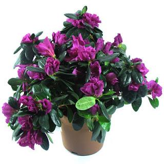Цветок Аллы - фиолетовая азалия