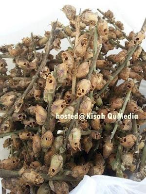 Inikah Pohon Zaqqum? Makanan Bagi Penduduk Neraka?