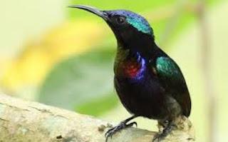 Tips Cara Perawatan Burung Kholibri Agar Cepat Bunyi