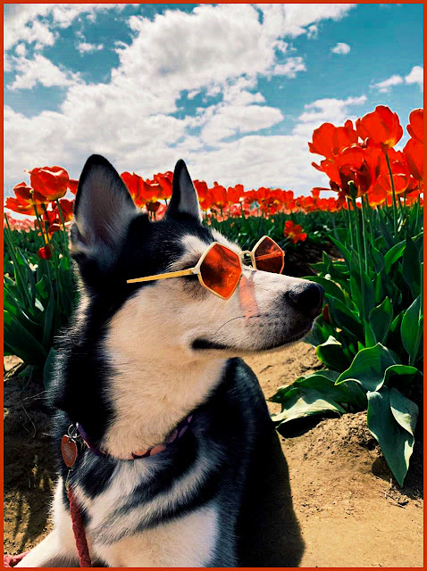 Siberian Husky Wearing Shades in a Red Tulip Field. #adorable #animals #dogs #red #flowers #tulips #sunglases #shades #husky