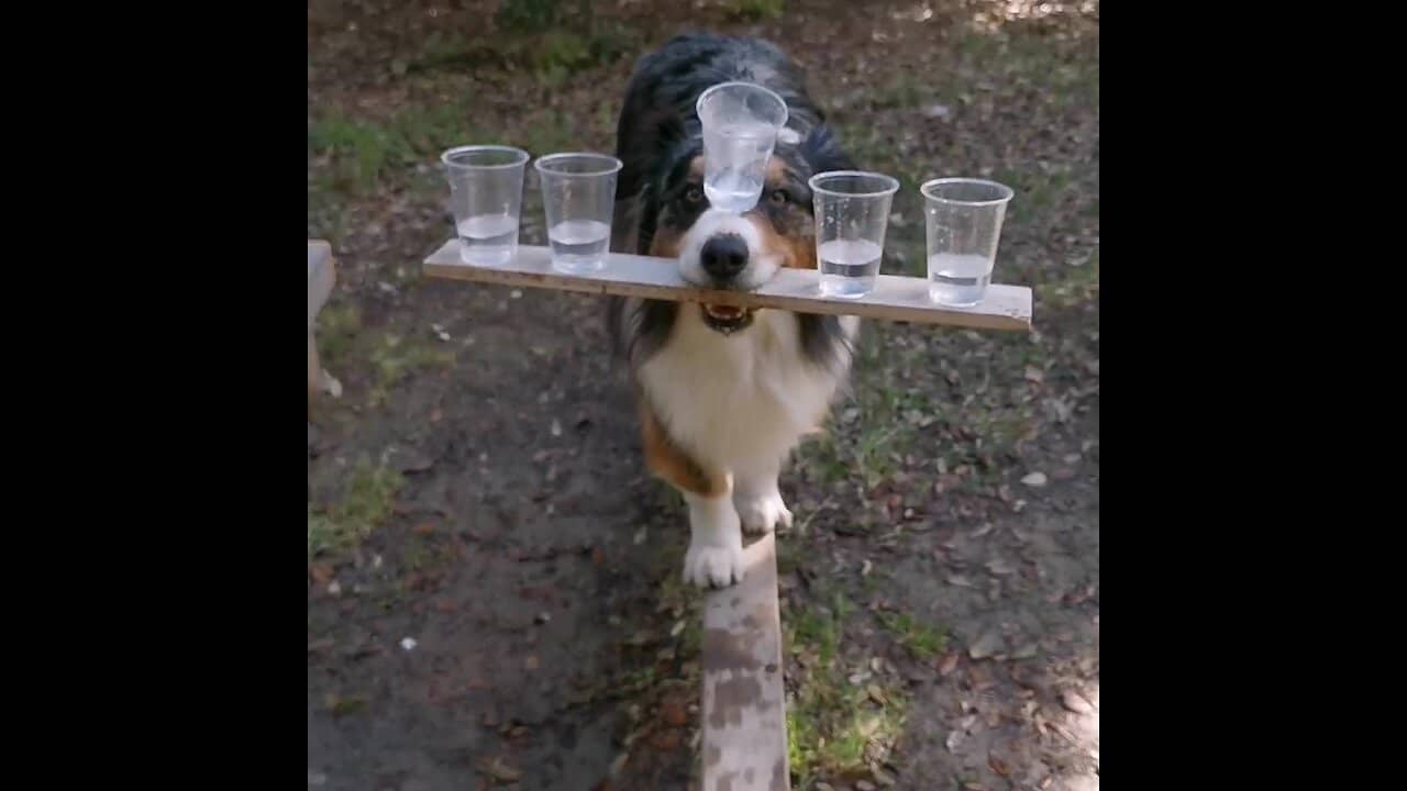 This Doggy Has An Incredible Talent Of Balancing 5 Cups On His Head