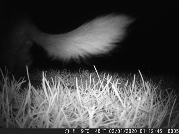 Catching a fox tale with night vision