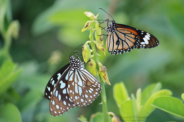 Blue tiger butterfly and Common tiger butterfly