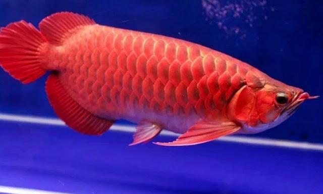 ikan arwana - Gambar Ikan Hias Cantik