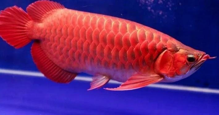 Makanan Ikan Arwana Yang Disukai - IKAN DAN LAUT