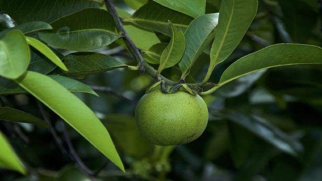Awas !!! Beredar Apel Beracun Paling Berbahaya di Dunia