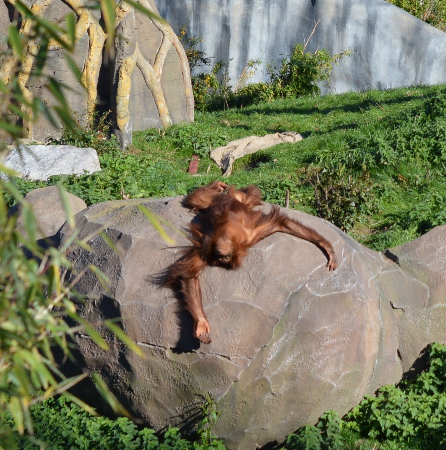 Tips for Visiting Chester Zoo from Newcastle - Orangutan sunbathing