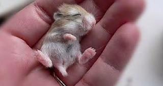 Tips Cara merawat bayi hamster yang baru lahir
