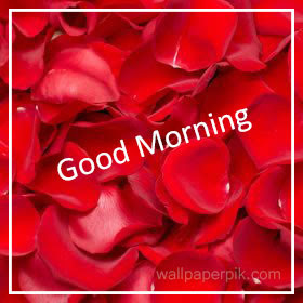 red rose good morning wallpaper hd images photos  download