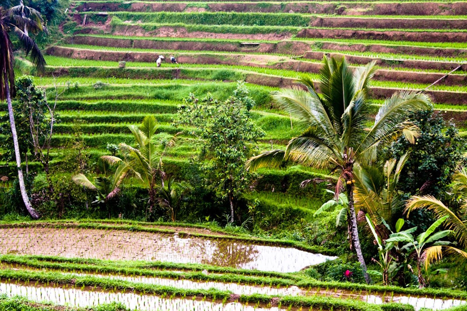 Marcoemimma Consulentiviaggio Bali Riso O Cibo Degli Dei