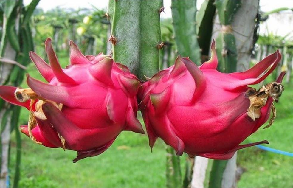 Buah Naga Daging Merah Maluku Utara