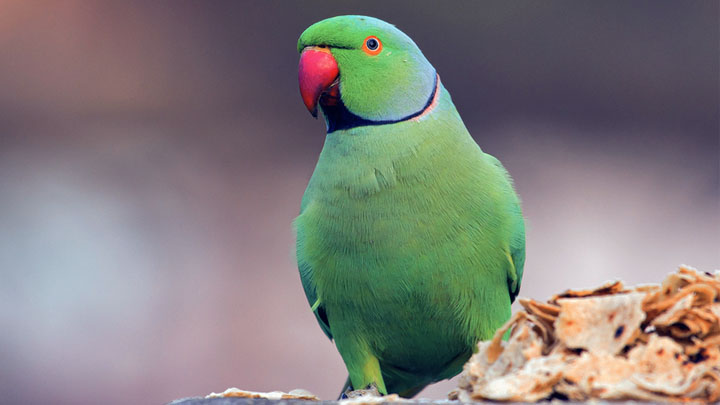 interesting facts about parakeets
