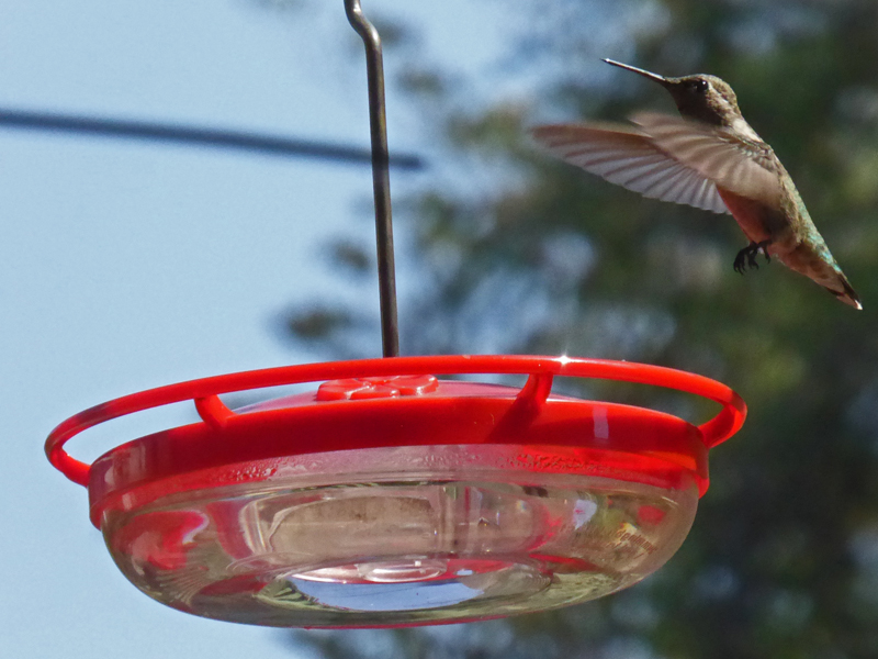 Shooting Hummingbirds (c) David Ocker