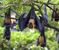 Amazing Facts About Bat in Hindi