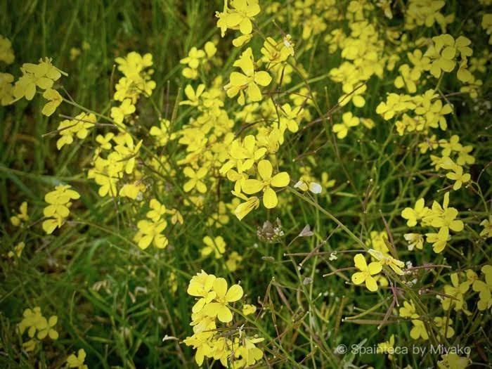 マドリードのサンティアゴ巡礼道で見つけた可憐な春の黄色い花