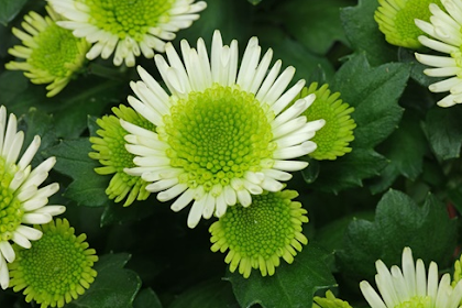 Important Benefits Of Chrysanthemum Bloom For Health