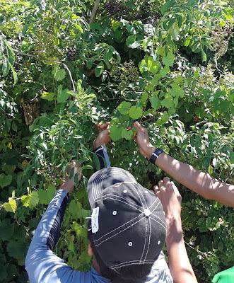 picking elderberries
