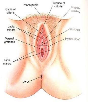 Vulva und vestibulum