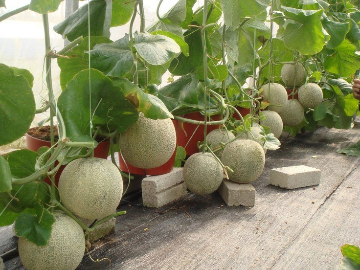 How To Grow Melons Simple Hydroponics Hydroponic Farming