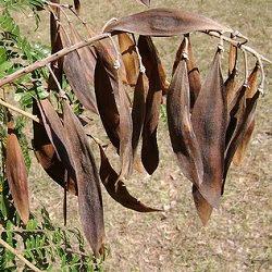 Ivirá pitá Peltophorum dubium