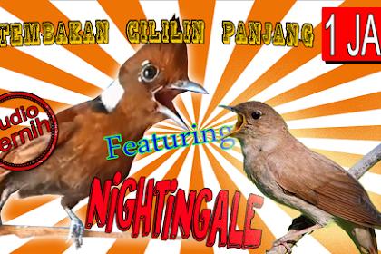 Cililin Gacor Nembak Panjang feat Nightingale Nembak rapat Sadis