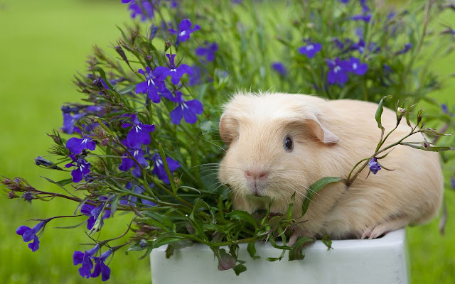 bloemen cavia wallpaper