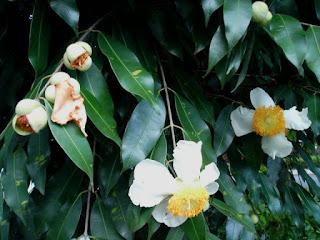 Pohon Nagasari, Tumbuhan Bertuah Anti Santet Yang Kini Semakin Langka