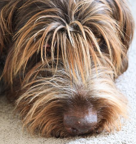 Wirehaired Pointing Griffon Breed History Training and Care Health Problems