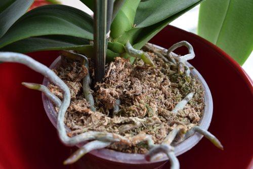 Orkide köklerinin büyümesi sonucu saksı değişimi yapılmalıdır