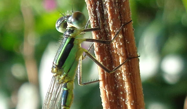Damselfly in the garden