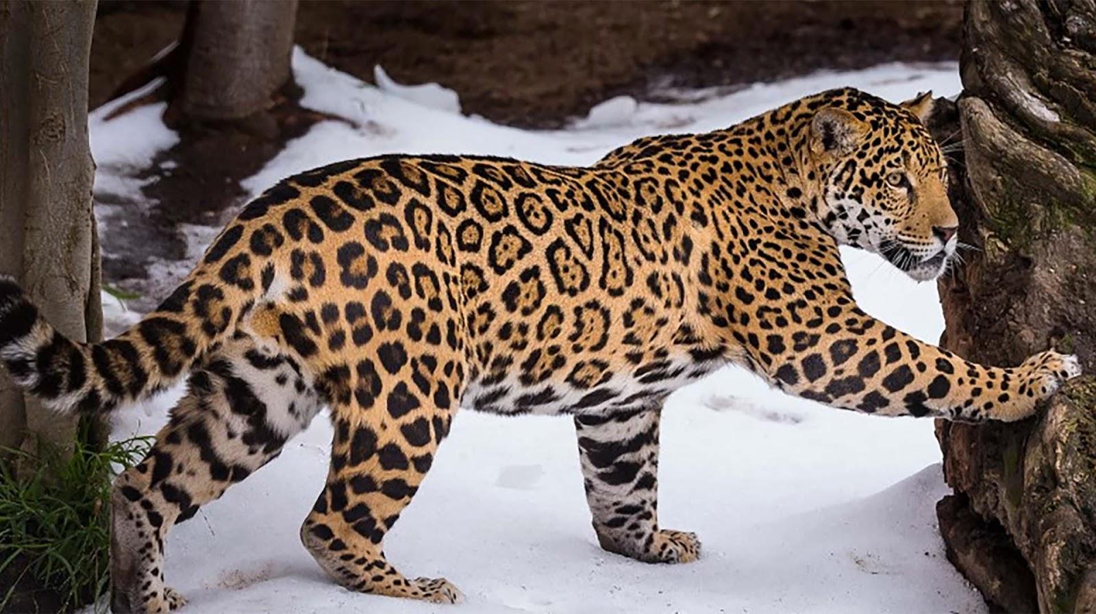 Best jaguar animal hd wallpaper 1080p free download wallpaper hd images for jaguar hd voltagebd Images