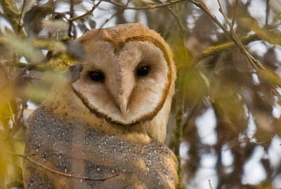 Photo portrait of a Barn Owl in leaves