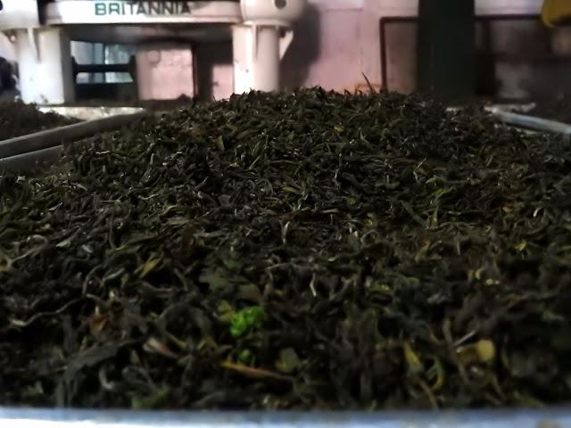 From green to black - Tea leaves after being oxidised | Makaibari, Kurseong (Darjeeling) - West Bengal, India