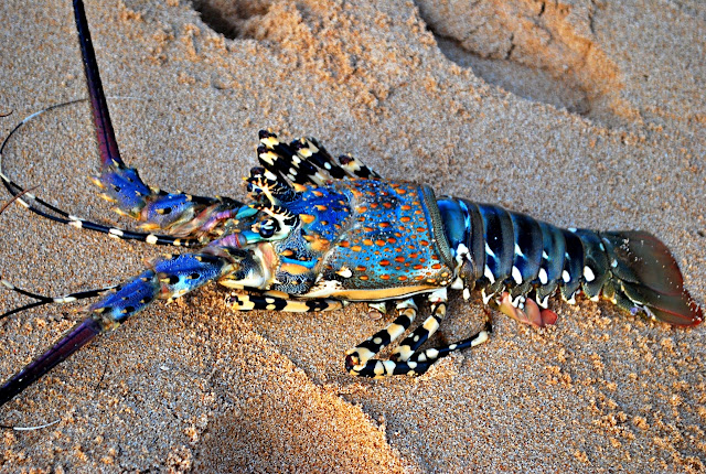 Lobster in Jomalig Island