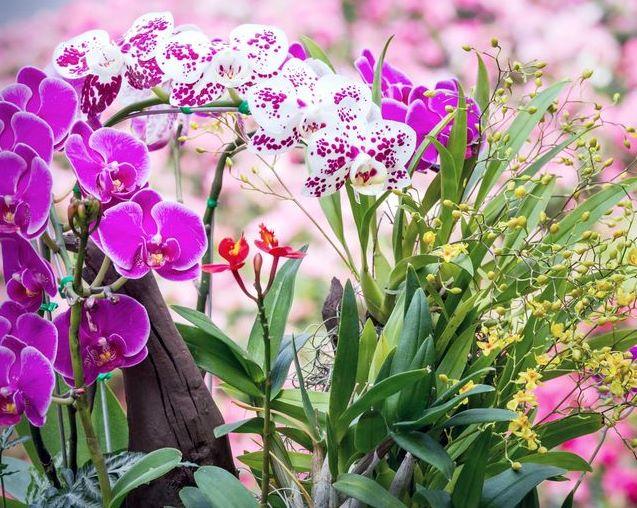Açmayan orkidelere çiçek açtırmak