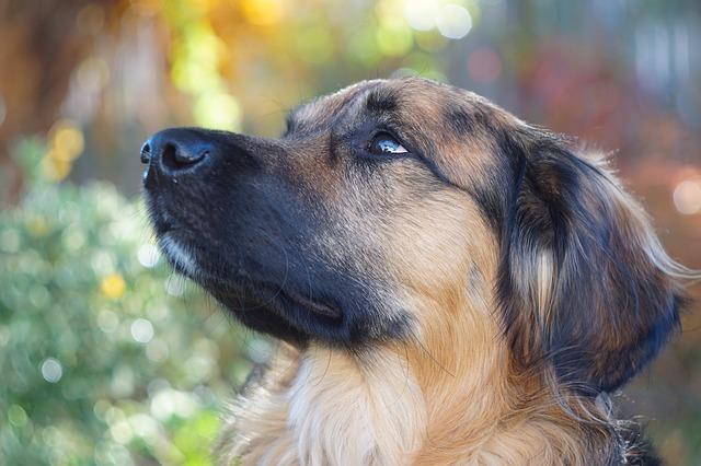 [Review Dog] Đánh giá chó Collie