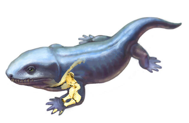 Researchers reconstruct changes in forelimb function as vertebrates moved onto land