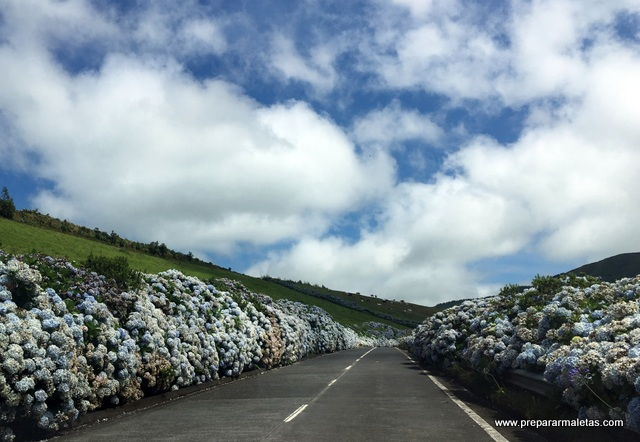 hortensias por todas las islas Azores