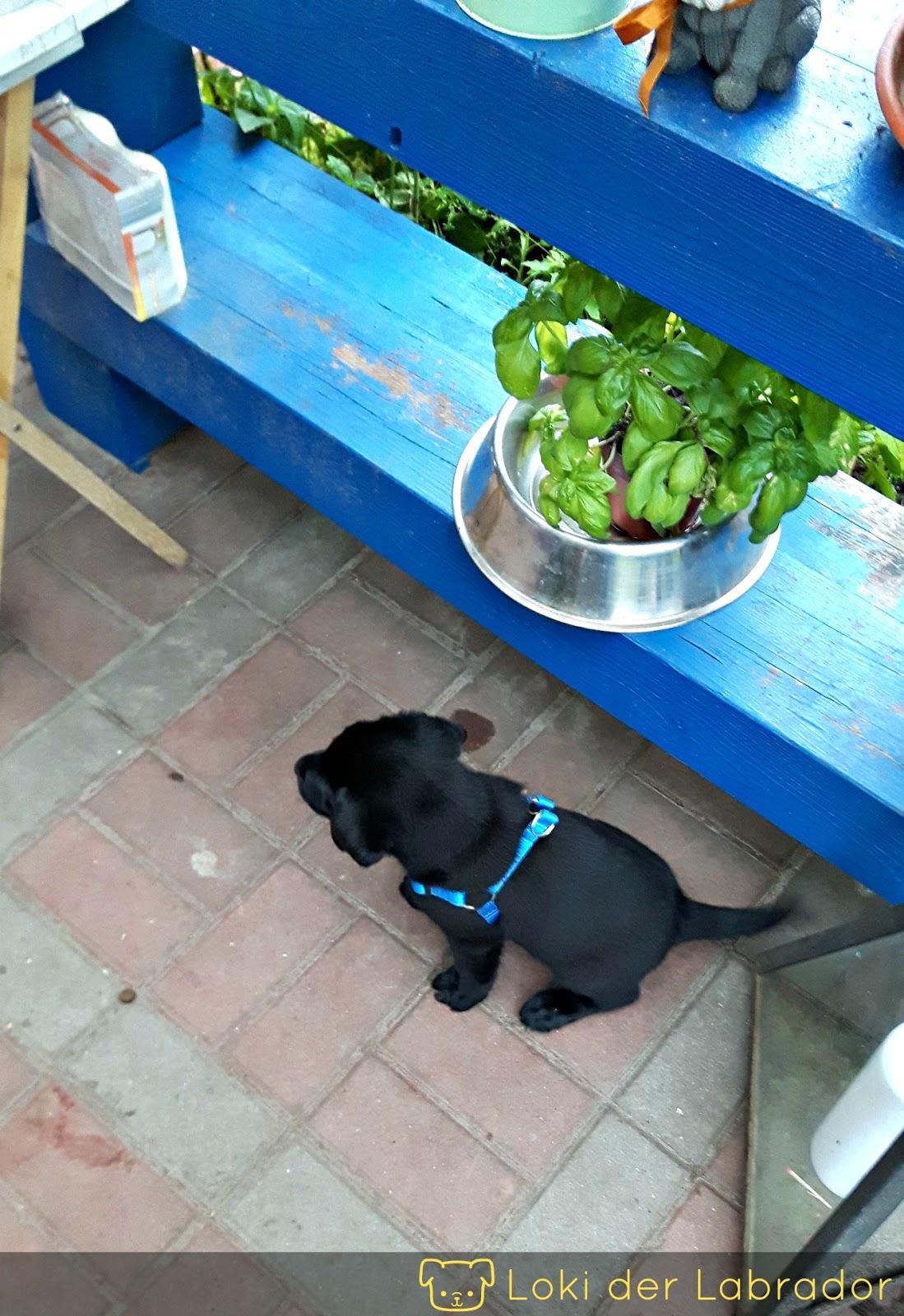 Beisshemmung bei Labrador Welpen