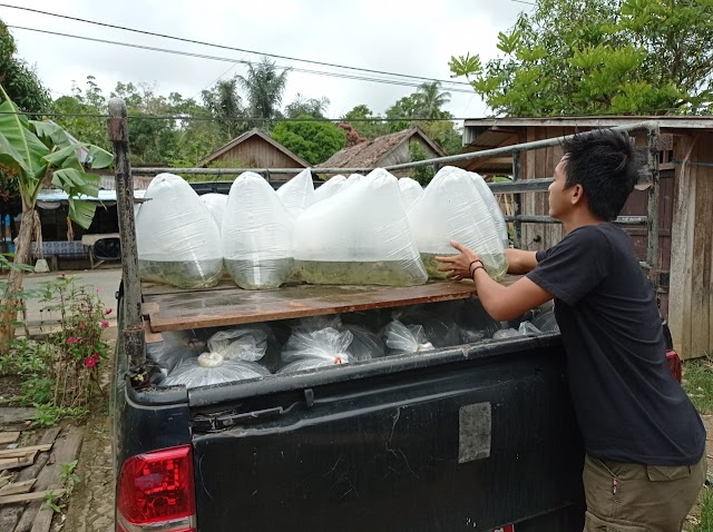 KKP Kembali Salurkan 350 Ribu Benih Ikan Air Tawar untuk Pembudidaya di Kalimantan