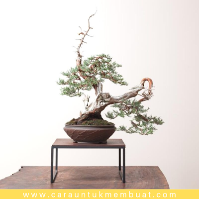 Bonsai Juniperus Occidentalis (Sierra) 6
