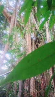 pohon ara hutan lindung sungai wain