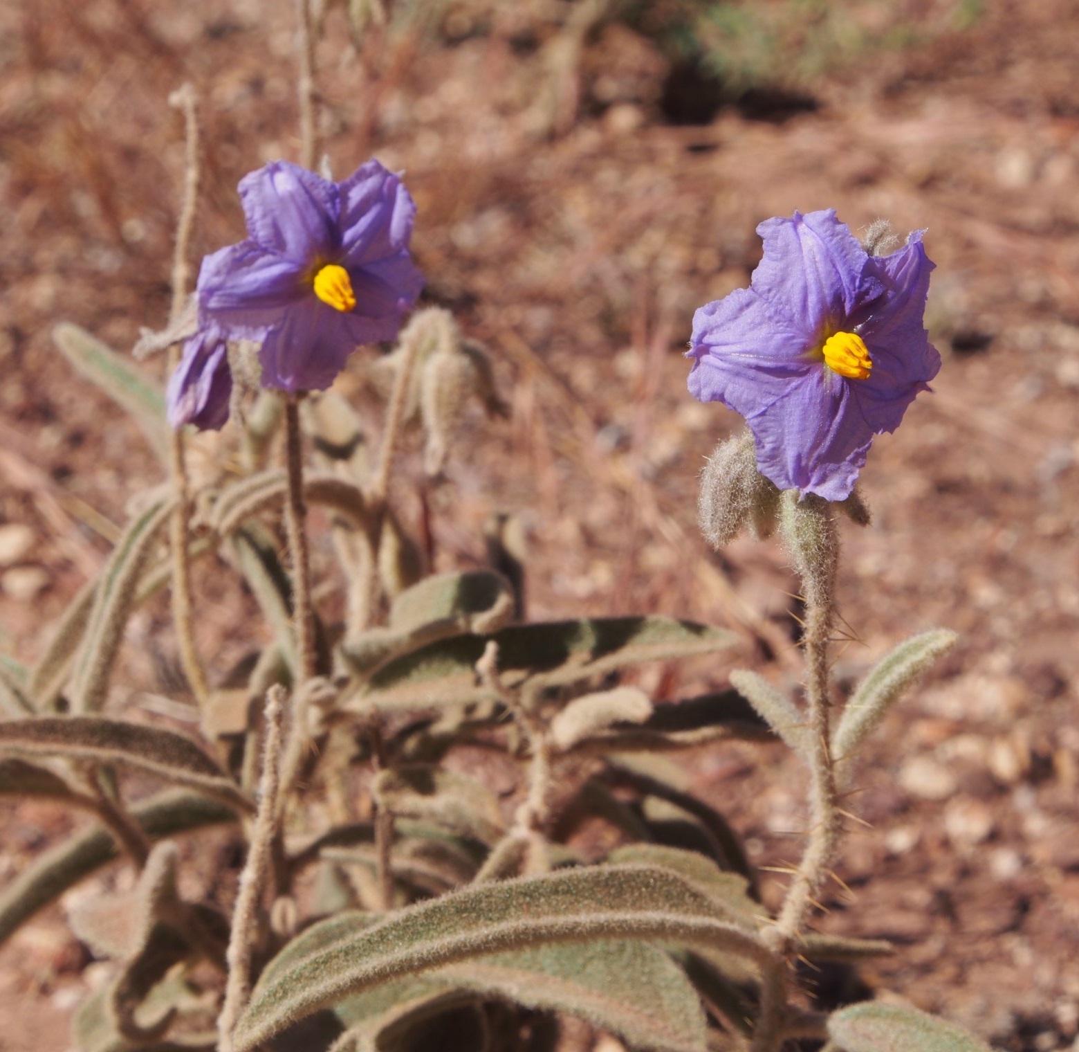 Species New To Science Botany 2019 Solanum Plastisexum