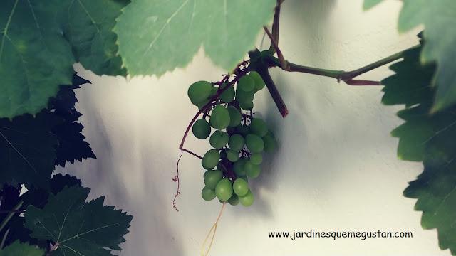 Uvas madurando