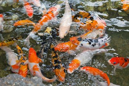 Tips Memelihara Ikan Koi Semoga Cepat Jinak