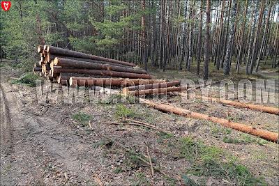 Налибокская пуща: порубка деловой древесины