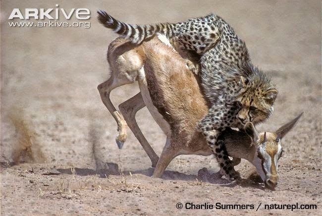 Guepardo atrapando Antílope