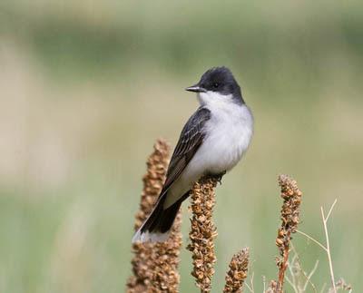 Photo of Eastern Kingbird on weed stalk