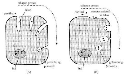 Gambar 3. Pinositosis. (A) Partikel masuk ke celah dan akhirnya terbungkus di dalam gelembung pinosistik. (B) Partikel terserap pada permukaan membran sel dan akhirnya terbungkus pula dalam gelembung yang serupa.